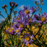 A purple aster plant