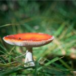 Image of a mushroom in the sun, with an upturned, orange, top and white underside and stalk, in green grass